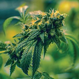 thumb-marijuana-bud1