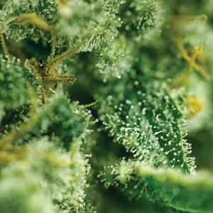 thumb-marijuana-bud4