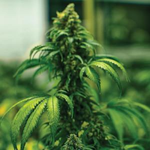thumb-marijuana-bud6